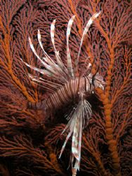 Lionfish Fandango. Taken under Pertamina Pier with an Oly... by Nick Hobgood 